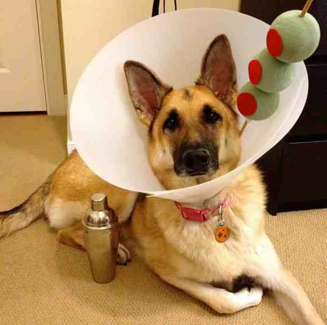 This Gentleman Is the Cl... is listed (or ranked) 1 on the list Animals Making the Most of Their Cones of Shame