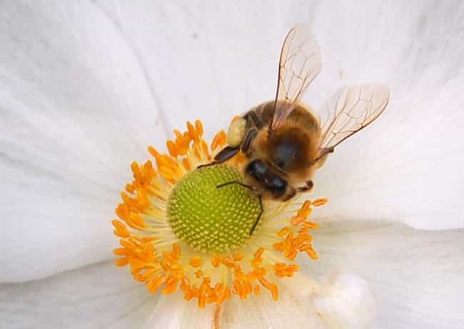 Honey Bees is listed (or ranked) 1 on the list About The Bees: A Fascinating Guide to All The Types