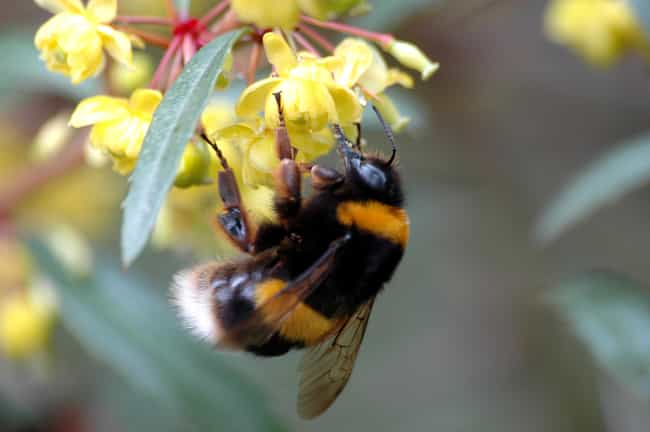 Bumble Bees is listed (or ranked) 2 on the list About The Bees: A Fascinating Guide to All The Types