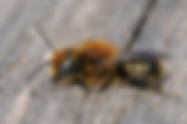 Mason Bees is listed (or ranked) 3 on the list About The Bees: A Fascinating Guide to All The Types