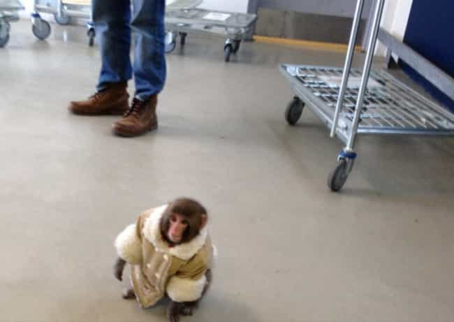 Ikea Monkey is listed (or ranked) 4 on the list The Best Fur Coats in Pop Culture