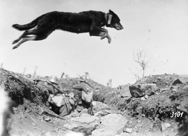 Messenger Dog Jumping Ov... is listed (or ranked) 2 on the list Old School World War 1 Pictures