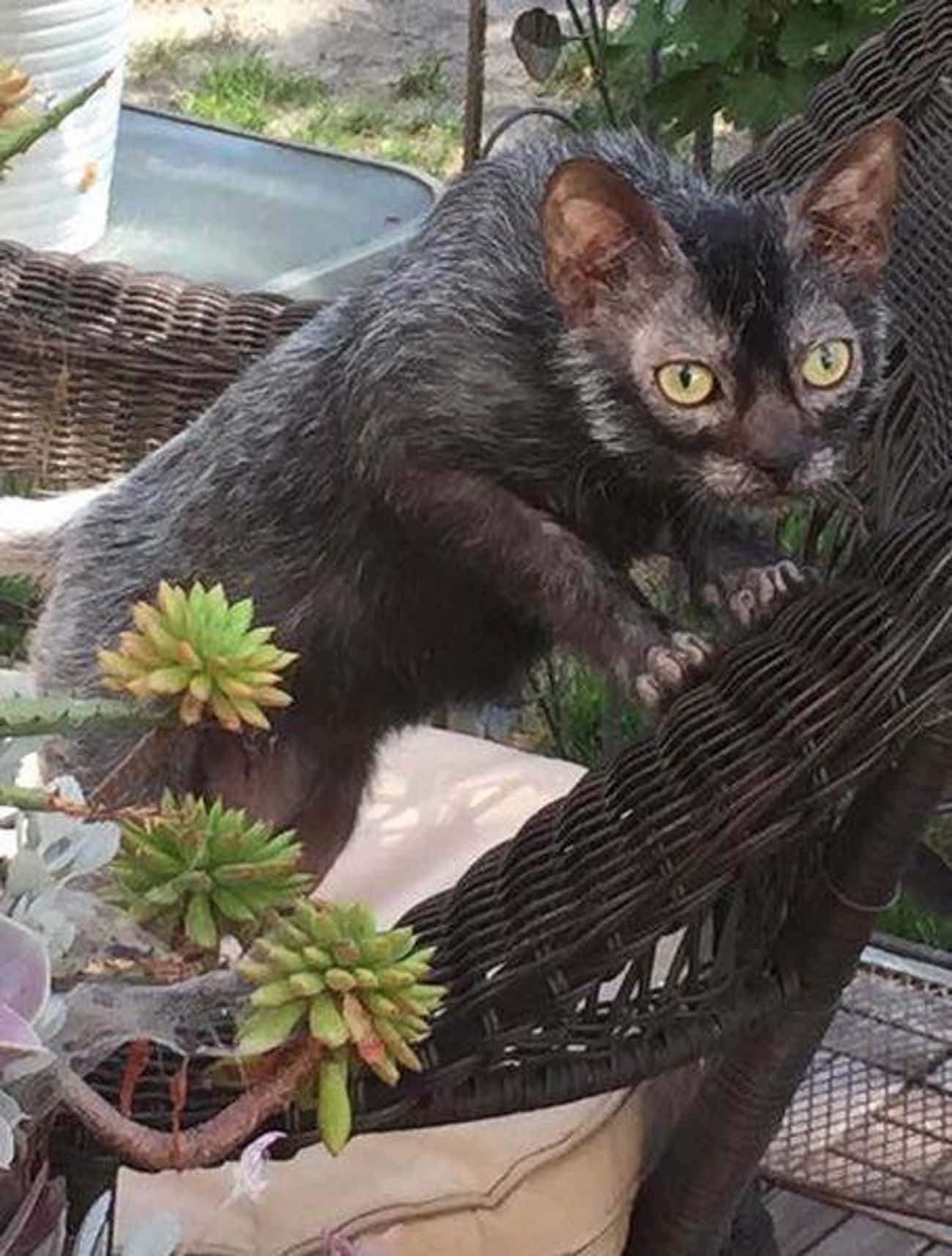 Lykoi is listed (or ranked) 4 on the list The Best, Most Unusual Exotic Cat Breeds