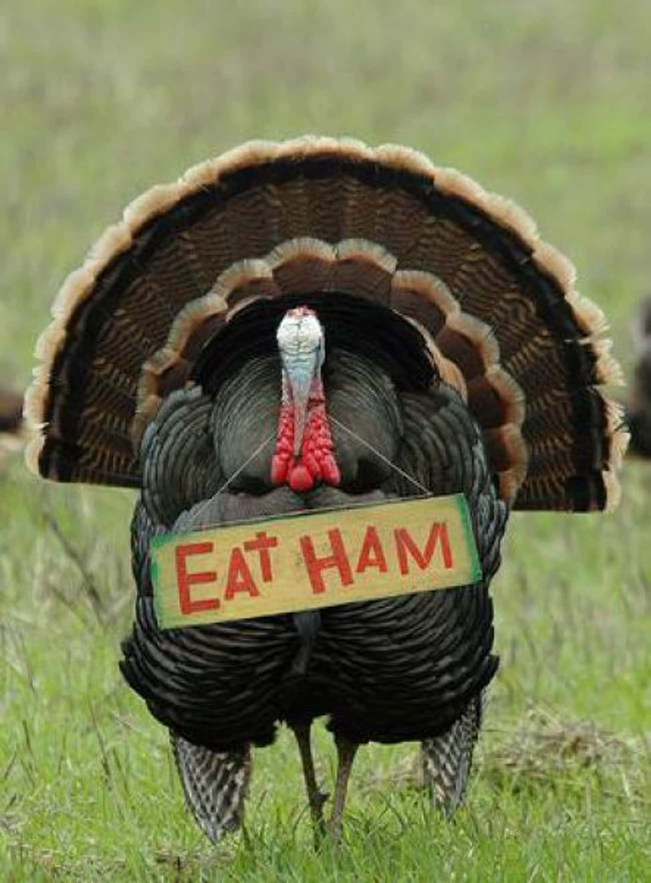 This Turkey Has No Sympathy fo is listed (or ranked) 3 on the list Animals Who Are Thankful for Nothing