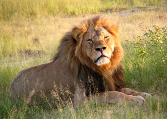 Cecil the Lion is listed (or ranked) 2 on the list 20 Awesome People Who Won Our Hearts in 2015