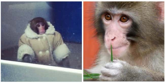 The Ikea Monkey is listed (or ranked) 24 on the list 25 Stories of the Real People Behind Memes