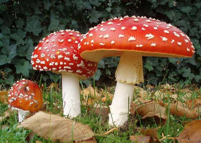 The Mario Mushroom Has S... is listed (or ranked) 2 on the list Fascinating Facts About Mushrooms That'll Blow Your Mind