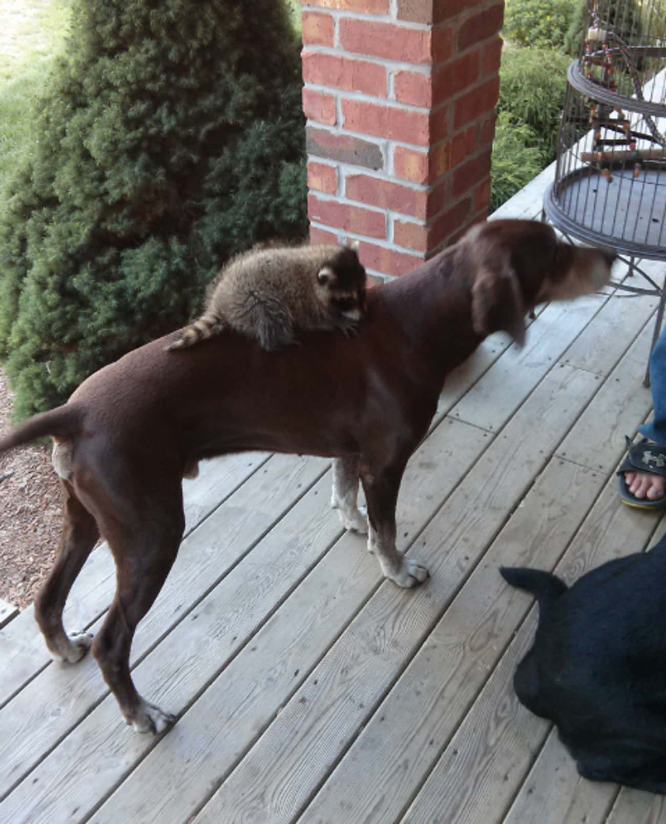 """""""Sorry, the Raccoon Got Aw is listed (or ranked) 4 on the list 34 Dogs Who Just Don't Get It"""