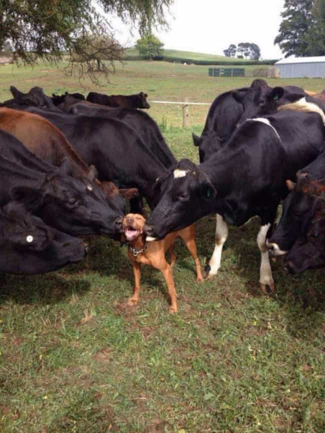 Herding: You're Doing It... is listed (or ranked) 1 on the list 34 Dogs Who Just Don't Get It
