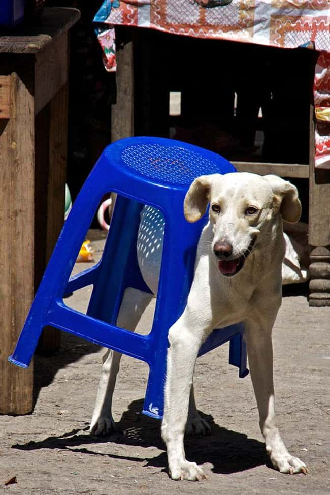 """The Stool Fought Back...& is listed (or ranked) 28 on the list 34 Dogs Who Just Don't Get It"