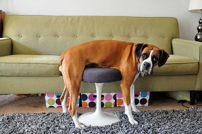"""I Can Explain..."" is listed (or ranked) 17 on the list 34 Dogs Who Just Don't Get It"