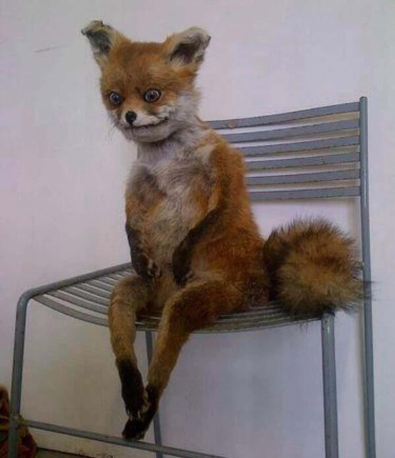 This Fox That Really Needs To Pee