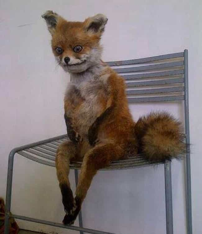 This Fox That Really Needs to ... is listed (or ranked) 1 on the list 33 Taxidermy FAILs That Are Both Funny and Horrifying