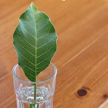 Explore How Water Travels Through Leaves