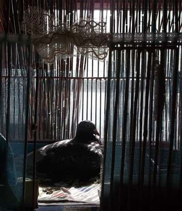 Man Locked in a Pigeon Cage fo is listed (or ranked) 1 on the list Super Weird Crimes Committed for No Reason
