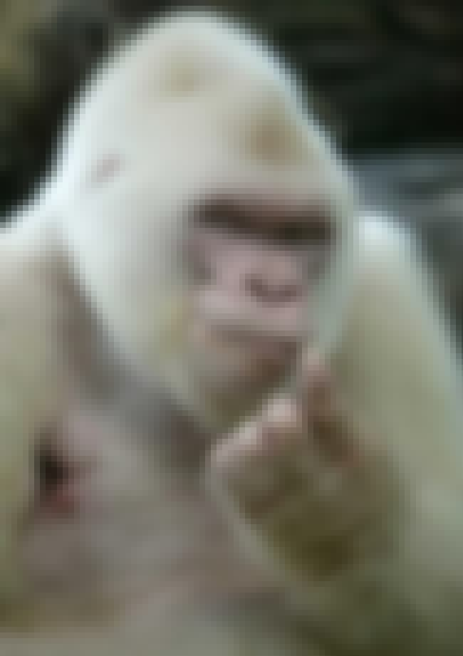 Hey Girl-rilla is listed (or ranked) 3 on the list If Animals Had Tinder. . .