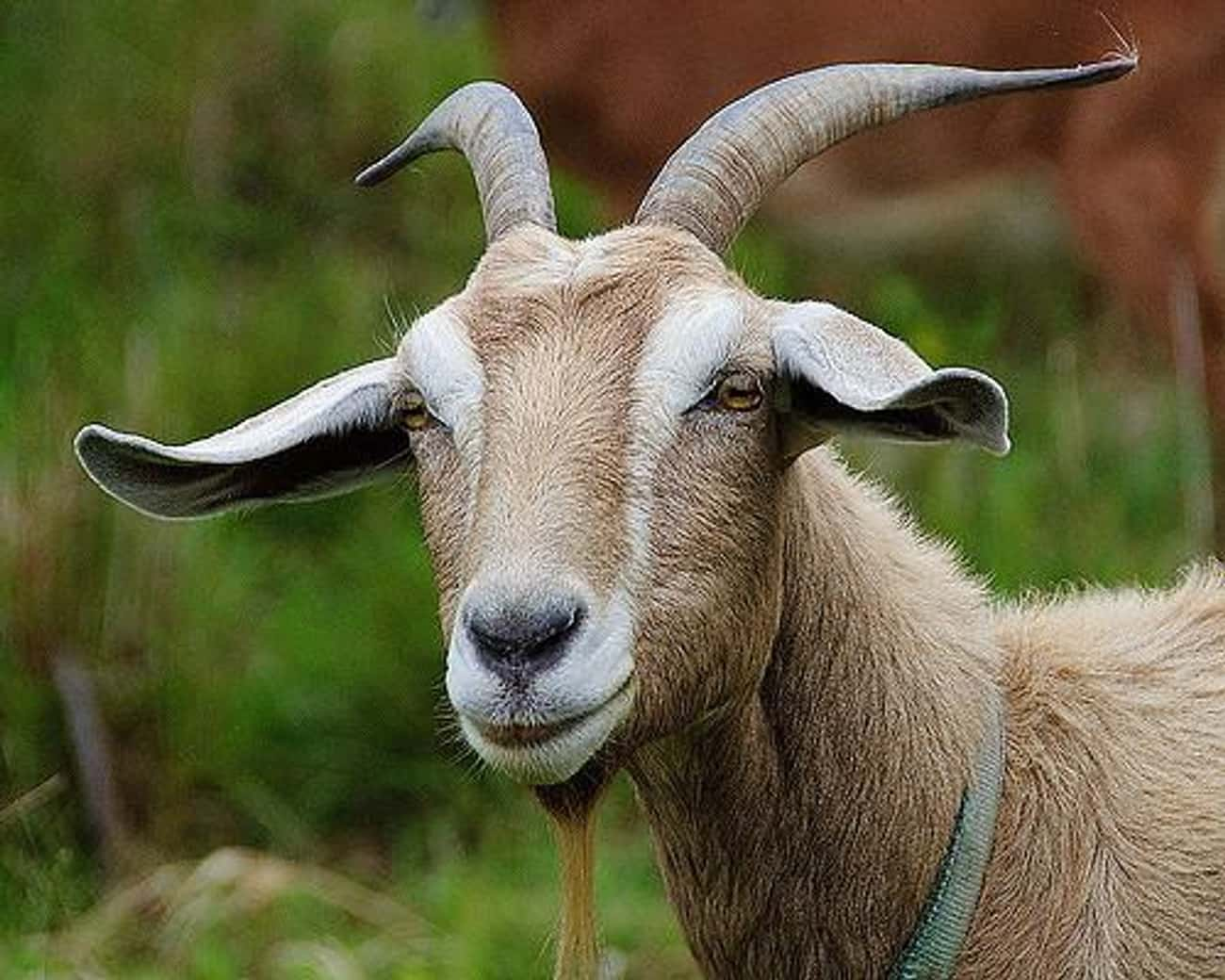 Goat Arrested for Chomping Down on Judge's Garden