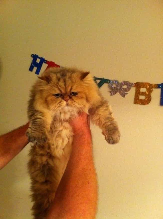 Hang in there Big Guy...... is listed (or ranked) 2 on the list 27 Cats Who Are Moderately Excited About Their Birthdays