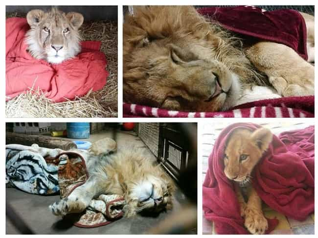 Lambert the Lion Has Been a Bl... is listed (or ranked) 3 on the list 29 Animals Who Love Their Blankets