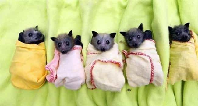 These Bundled Baby Bats Are a ... is listed (or ranked) 4 on the list 29 Animals Who Love Their Blankets