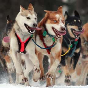Dogsled racing is listed (or ranked) 8 on the list The Best Snow Sports to Play and Watch