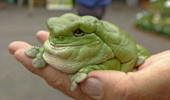 White's Tree Frog Is Lum... is listed (or ranked) 4 on the list 34 Of The Silliest-Looking Animals on Earth