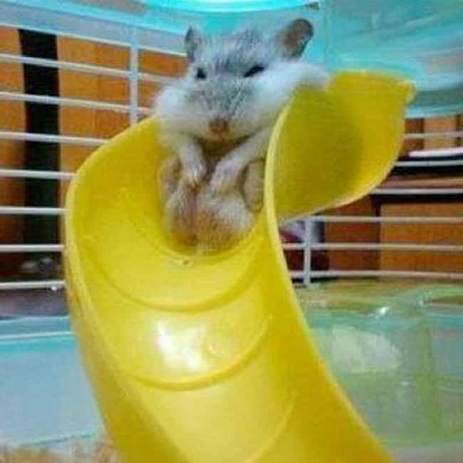 Frank Insists the Slide Shrank is listed (or ranked) 3 on the list Animals Who Have Really Gotten Themselves in a Predicament