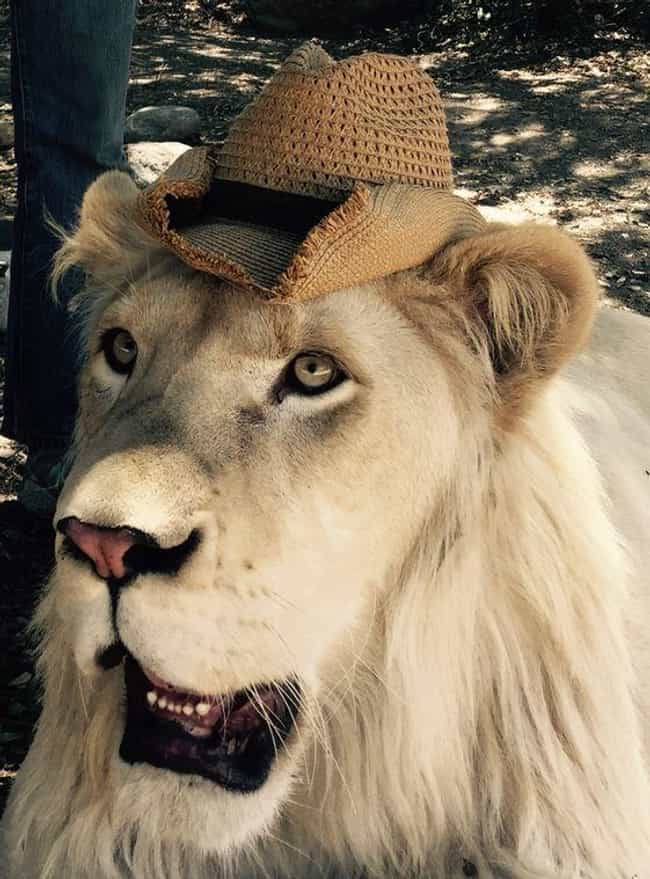 Big Cats Love Hats Too is listed (or ranked) 4 on the list 32 Insanely Adorable Cats Wearing Hats