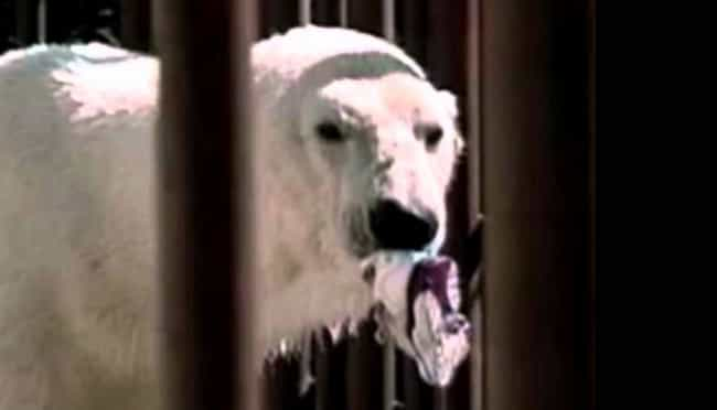 Binky the Polar Bear Bites Bac... is listed (or ranked) 1 on the list The Worst Things That Have Ever Happened at Zoos