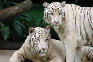 Bengal Tigers Maul A Zoo Cleaner