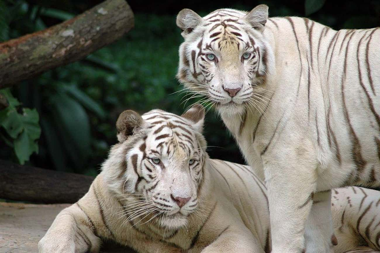Bengal Tigers Maul A Zoo Clean is listed (or ranked) 1 on the list The Worst Things That Have Ever Happened at Zoos