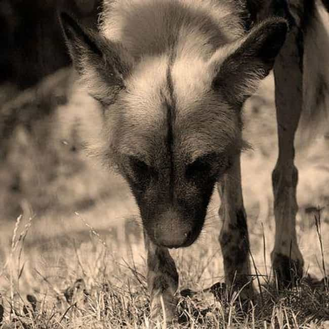African Wild Dogs Catch Fallen... is listed (or ranked) 3 on the list The Worst Things That Have Ever Happened at Zoos