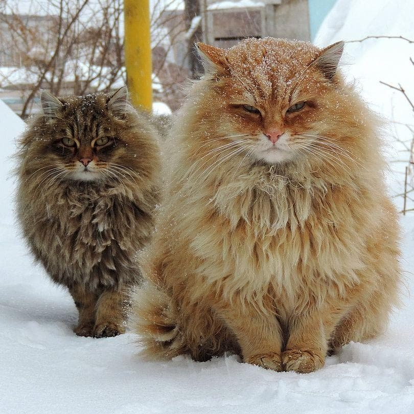 Random Floofiest Kitties in the Entire World Thumb Image