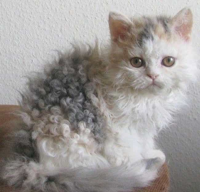 DIY Perm Cat Vows Never Again is listed (or ranked) 3 on the list Cats Who Are Not Happy with Their New Hair Styles