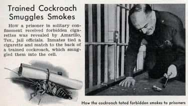 Cigarette-Carrying Cockroaches