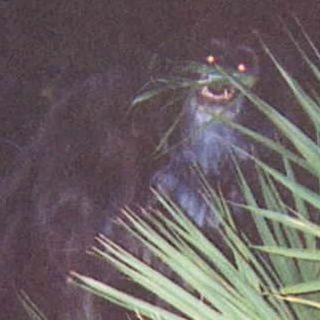 Florida: Skunk Ape is listed (or ranked) 9 on the list Craziest Humanoid Cryptids by State