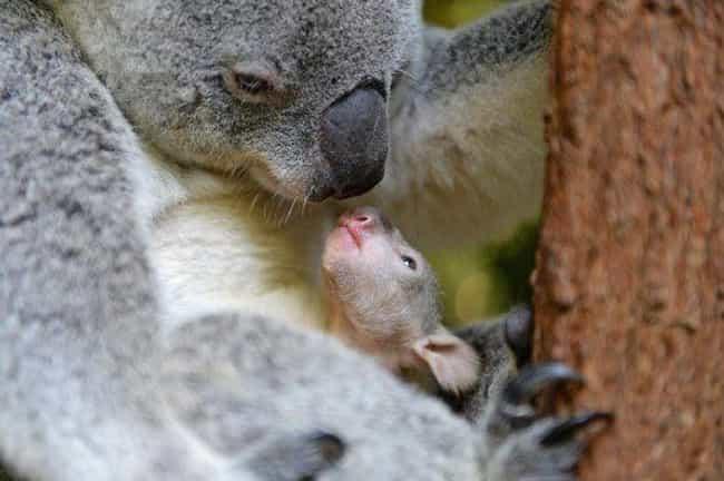 Mama Koala and Her Baby