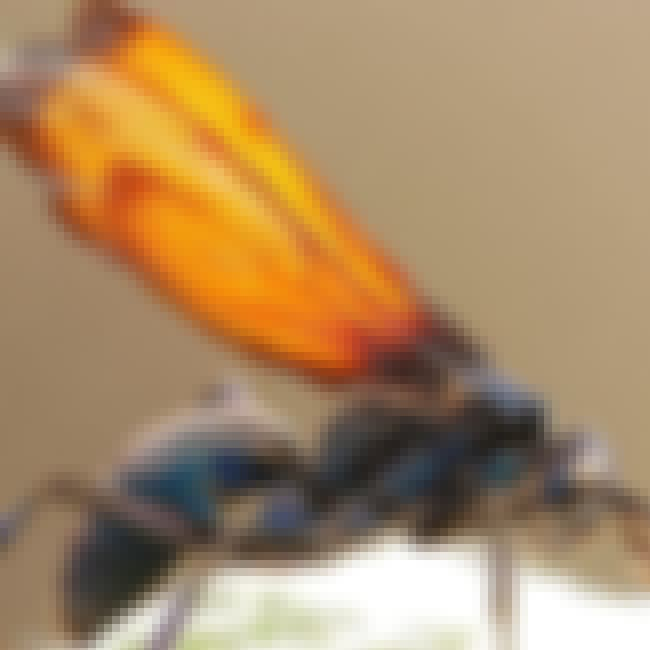 Tarantula Hawk is listed (or ranked) 1 on the list Insects You Hope to Never Encounter