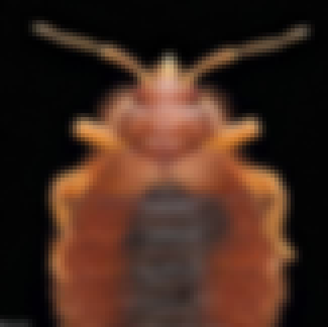 Bat Bug is listed (or ranked) 2 on the list Insects You Hope to Never Encounter