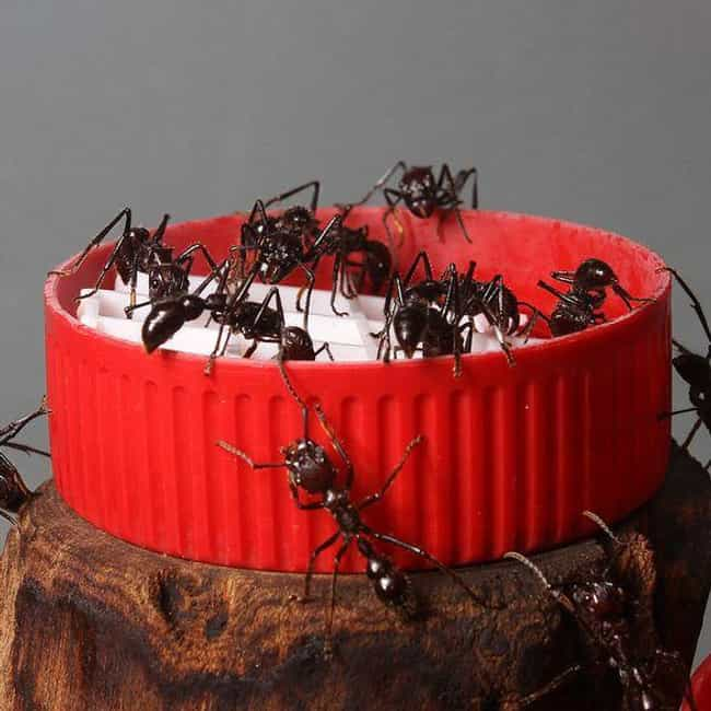 Bullet Ant is listed (or ranked) 5 on the list Insects You Hope to Never Encounter