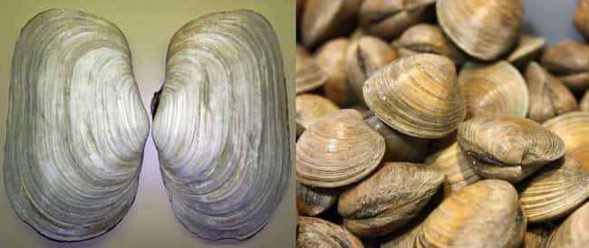 Clam is listed (or ranked) 2 on the list Things That Were Terrifyingly Bigger In Prehistoric Times