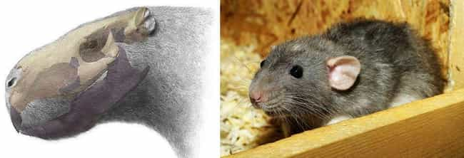 Rat is listed (or ranked) 3 on the list Things That Were Terrifyingly Bigger In Prehistoric Times