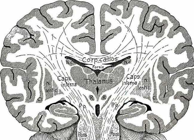 It's Nestled in the Center... is listed (or ranked) 2 on the list Weird Things You Didn't Know About the Hypothalamus