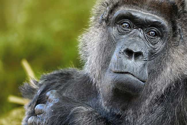 Binti Jua The Gorilla Ac... is listed (or ranked) 1 on the list Surprising Animal Heroes Who Changed Human Lives
