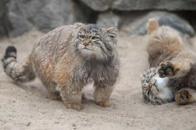 Pallas's Cat is listed (or ranked) 3 on the list 14 Wild Dog And Cat Species That Are Amazingly Rare