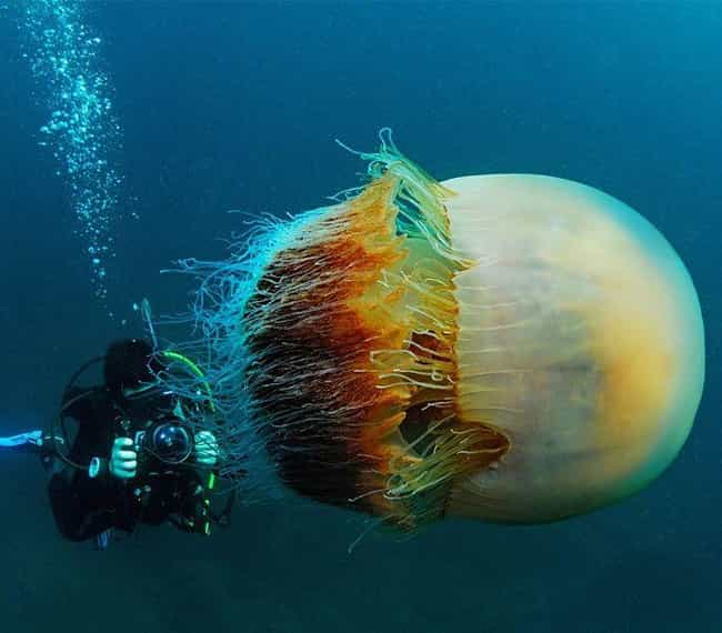 The Jellyfish Who Sunk A... is listed (or ranked) 4 on the list The Most Amazing Jellyfish in the Ocean