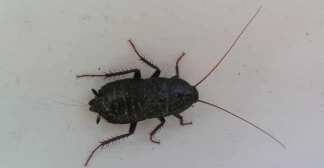 An Inch-Long Cockroach ... is listed (or ranked) 2 on the list The Most Disgusting Things Ever Found in People's Ears