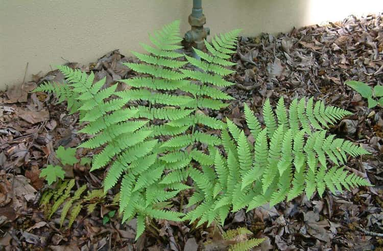 There's a Genus of Ferns Named After Her