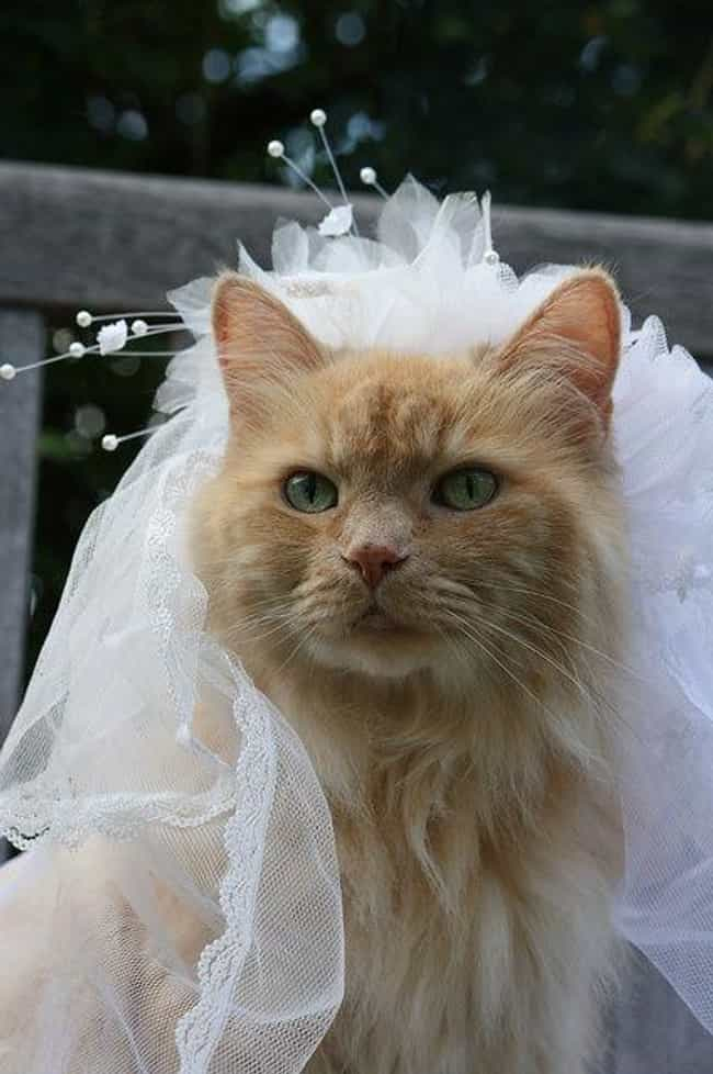 Purrfect pictures of cat weddings page 2 who batted the feathers off of my veil junglespirit Images