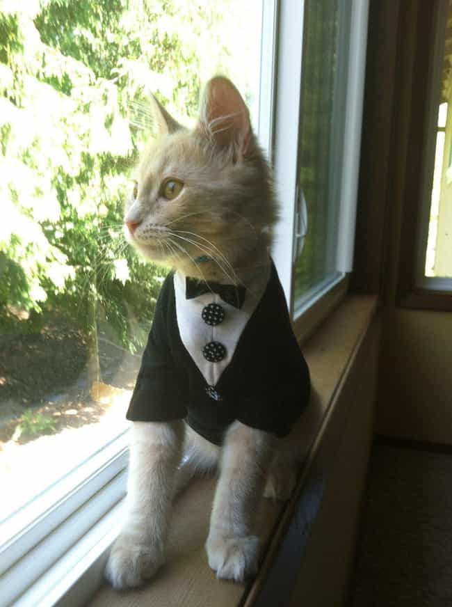 Eager Groom Cat Attempts to Sn... is listed (or ranked) 2 on the list Purrfect Pictures of Cat Weddings
